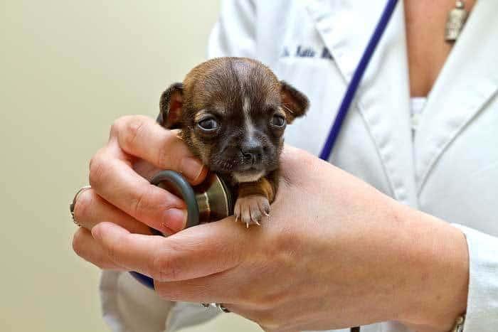 Folsom Vet Checks World's Tiniest Puppy